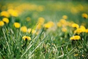 dandelion-field-palatine-film-2